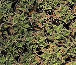 四海波[随机]_Faucaria tigrina