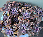 Pik Ruz合并(L080)_Graptoveria 'Pik Ruz'