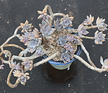 老庄Pik Ruz合并(头몸or세몸)_Graptoveria 'Pik Ruz'