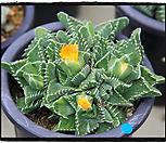 四海波群生中品_Faucaria tigrina