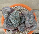 haworthia老庄老庄NO.246_haworthia
