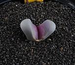 XP615-LT.meyeri[红菊水玉]C272a红菊水玉_Lithops meyeri 'Hammeruby'