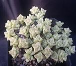 彩色蜡笔_Crassula Rupestris variegata
