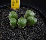 XP703-Conophytumectipumvar.tischeri티세리5头_