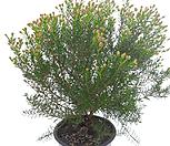 白蜡플라워(中品)_Echeveria agavoides Wax