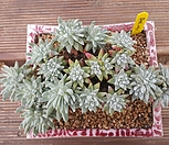 格诺玛自然群生_Dudleya White gnoma(White greenii / White sprite)