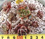 粉黛园X102_Echeveria pumila