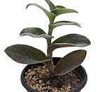 白霜희(털달개비)_sedum spathulifolium