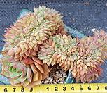 鸡冠花_Echeveria Lamillette  f cristata