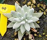 格诺玛2头_Dudleya White gnoma(White greenii / White sprite)