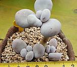 星美人木質化一体群生X152_Pachyphytum oviferum