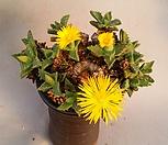 四海波(自然群生老庄)_Faucaria tigrina