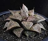 XP965-Haworthia picta컷트묘(ピクター)_Haworthia picta