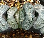 XP968-Haworthiatruncata玉扇가마(歌磨)컷트묘_Haworthia truncata