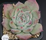 SHIMOYAMA7101-5746_Echeveria SHIMOYAMA Colorata