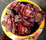 罗西马5头群生_Echeveria longissima
