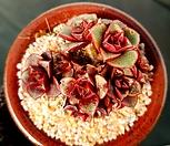 原始种罗西马群生_Echeveria longissima
