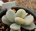 乒乓福娘锦_20_Cotyledon orbiculata cv variegated