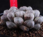 XP1018-大형紫obtusa紫Obtusa实生_Haworthia var. obtusa(purple)
