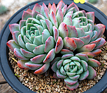 老庄莎莎女王群生_Echeveria 'Suryeon'