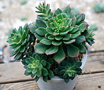 绿翡翠群生_Echeveria Green Emerald