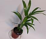 아레카야자(小品)야자나무/야자묘목/공기정화식물/관엽식물/공기중습도가습효과식물/모종_