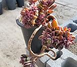 紫心_Echeveria cv Rezry
