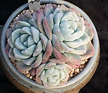 冰玉_Echeveria 'Ice green'