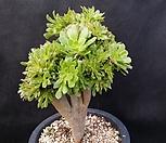 青法师缀化(老庄)_Aeonium arboreum