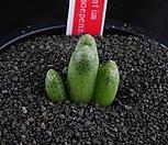 XP1044-Conophytummarginatumssp.karamoepense마기나툼카라모에펜스3头_