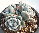 冰玉22_Echeveria 'Ice green'
