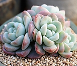 老庄冰玉群生_Echeveria 'Ice green'