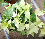 신종아이비白霜공주_sedum spathulifolium