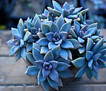 Pik Ruz群生_Graptoveria 'Pik Ruz'