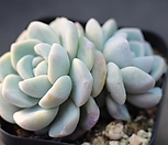冰玉群生G4430_Echeveria 'Ice green'