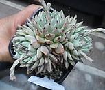 (1/17)原始绿爪大80_Echeveria mexensis 'Zaragosa'
