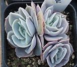 (1月)蓝色惊喜79_Echeveria Blue Surprise