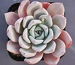 原始绿爪x卡罗拉8422_Echeveria mexensis 'Zaragosa'
