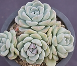 冰玉老庄群生8444_Echeveria 'Ice green'