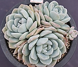 冰玉老庄群生8445_Echeveria 'Ice green'