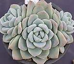 冰玉老庄群生8446_Echeveria 'Ice green'