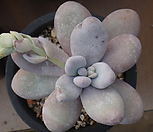 moonstone_Pachyphytum Oviferum Moon Stone
