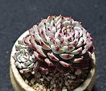 粉姬莲(花盆포함)_Echeveria pink minima