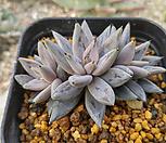 魔爪3头自然群生_Echeveria unguiculata