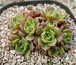 罗西马벨바라群生(紫心)_Echeveria longissima