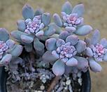 花乃井錦7101-1862_Echeveria amoena