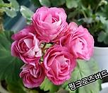 粉色玫瑰버드_