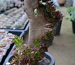 黑法师缀化(特大品)7101-1870_Aeonium arboreum var. atropurpureum