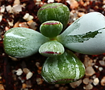 호피乒乓福娘锦(0118)_Cotyledon orbiculata cv variegated