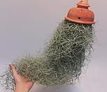 황토걸이분[특大]2수염틸란드시아폭스테일/에어플랜트(공중식물)/小品/공기정화식물/인테리어효과도좋아요..._